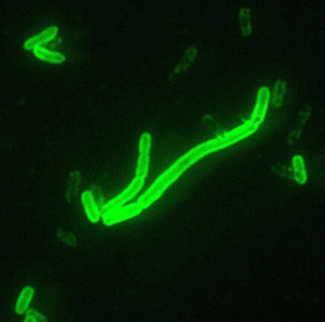 id-10-Yersinia_pestis 1036x1024.jpeg